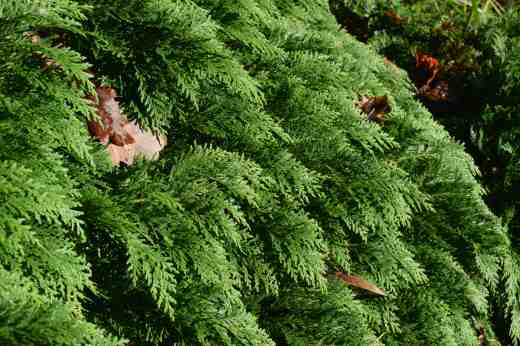 The perfectly grromed foliage of a conifer - not sure which!
