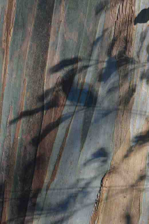 Piitosporum shadows on eucalyptus back