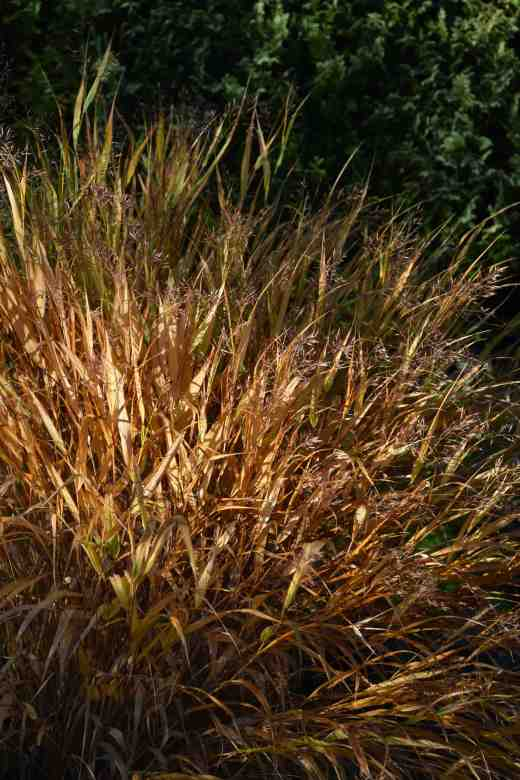 Hakonechloa in its autumn finery