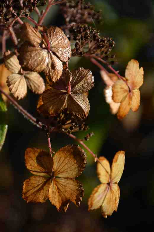 The dead flowers of a hydrangea (possibly H, aspera)