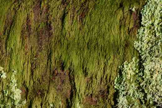 Moss draping prunus branches