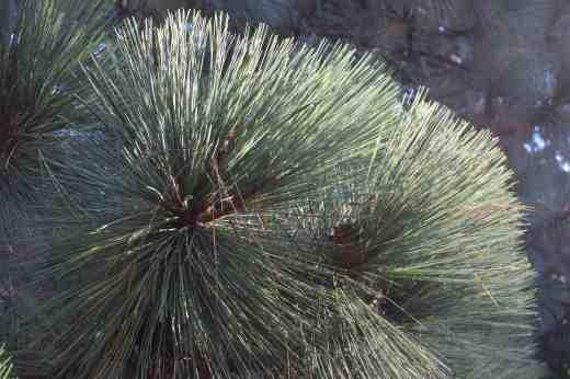 Pinus montezuma in sparkling form