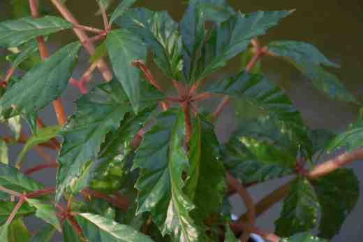 begonia carolineifolia3