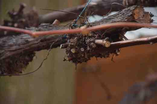 grape pruning