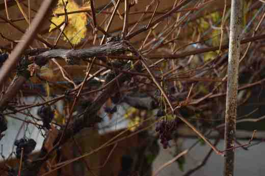 grape pruning2