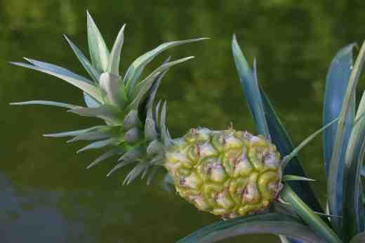 ananas jan