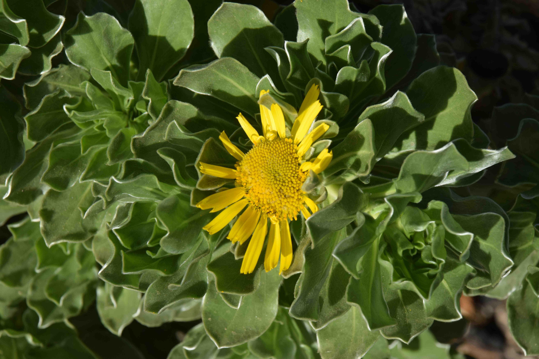 Canary sunshine three yellow flowers the biking gardener asteriscus sericeus mightylinksfo