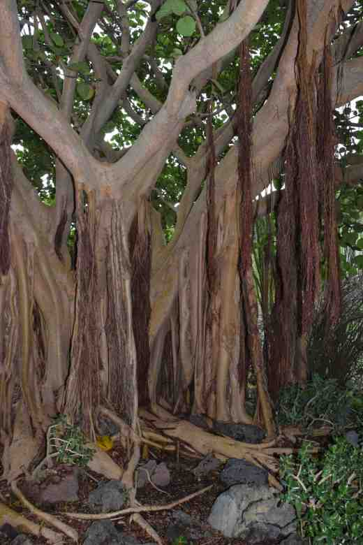 This beautiful tree with small, hard figs, is from Yemen and seems to be a 'strangler' with aerial roots that grow down from the branches