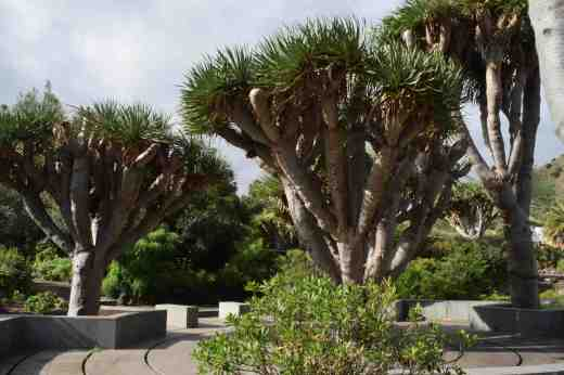Dragon trees (Dracaena draco) are a feature of he islands and there are some fine specimens in the garden