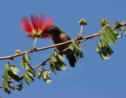caliandra bird
