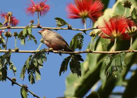 calliandra bird 2