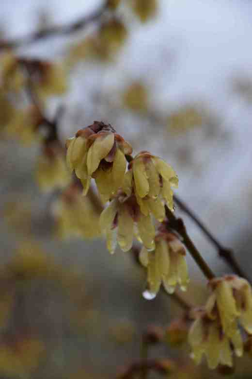 chimonanthus