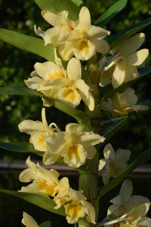 dendrobium yellow