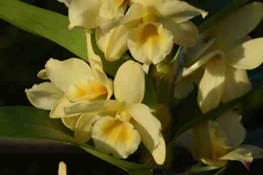dendrobium yellow2