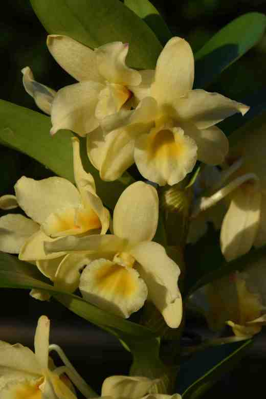 dendrobium yellow4
