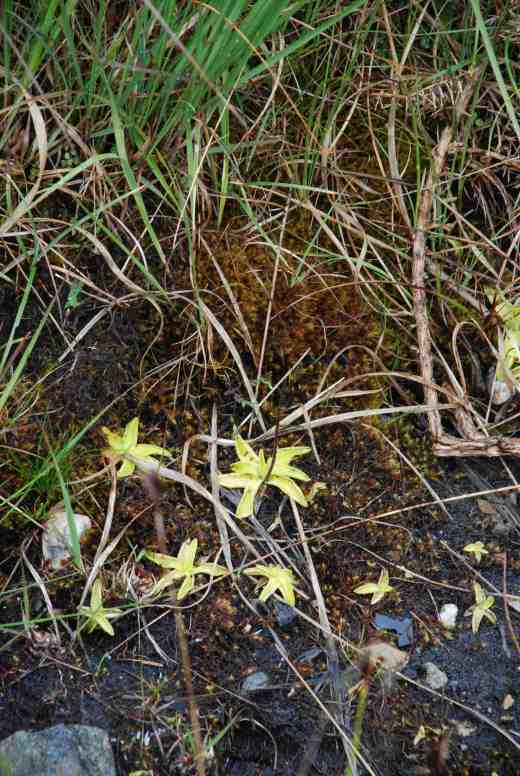 Pinguicula grandifora in ditch in Connemara in June 2014