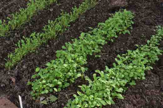 salad rocket jan2