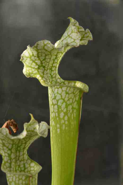 The taller, brighter leaves of Sarracenia leucophylla