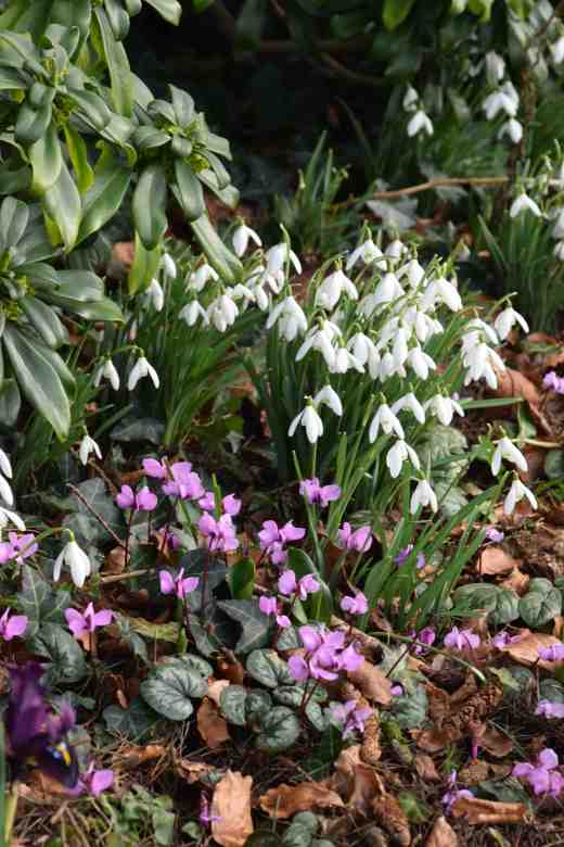 Galanthus nivalis and Cyclamen coum