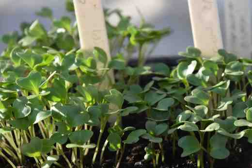 cabbage sedlings