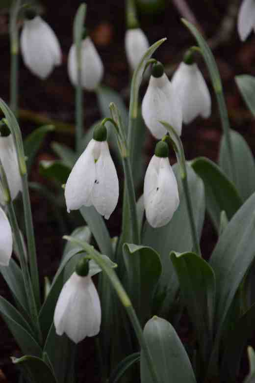 This cultivar of Galanthus elwesii is 'Helen Tomlinson'