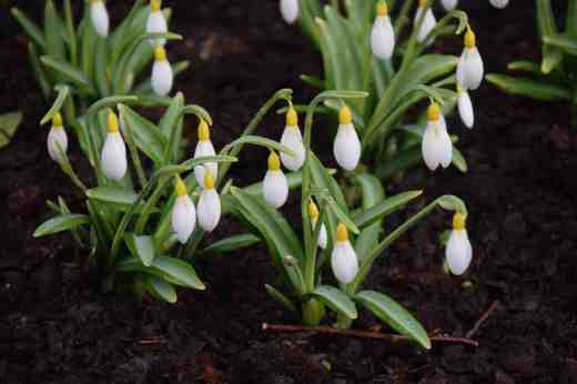 The ridiculously beautiful Galanthus 'Wendy's Gold'