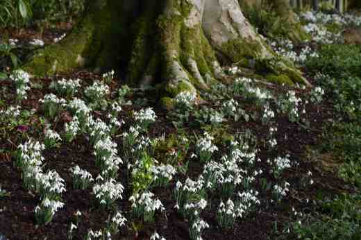 Galanthus nivalis, the common snowdrop, under the huge beech trees