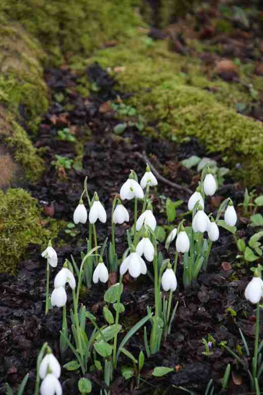Galanthus 'Lerinda' was planted extensively at Altamomt and is a large, showy snowdrop. It was selected in the 1970s by Ken Aslet, former superintendent of the rock garden at Kew.