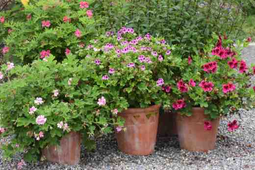 Pots of scented leaf pelargoniums last summer including, from front left: 'Sweet Mimosa', 'Orange Fizz' and 'Ashby' and 'Lara Starshine' at the back