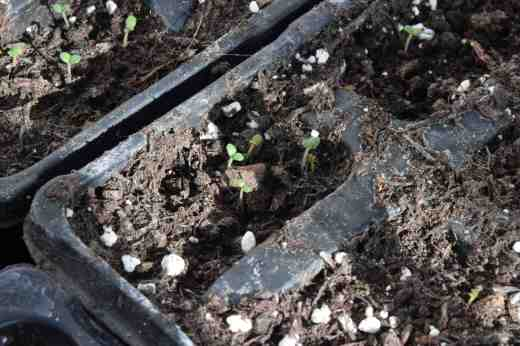 I sow hardy annuals and some veg in cell trays so the seedlings do not get any root disturbance.