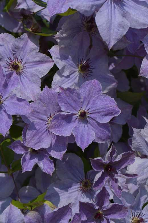 Clematis 'Skyfall' Photo copyright