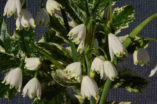 acanthus white