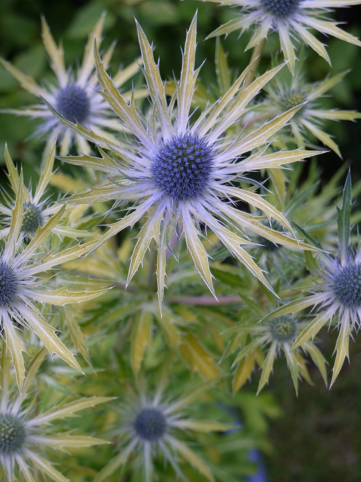 Eryngium-Neptunes-Gold-photo-Plants-for-Europe