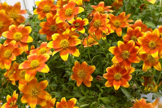 Bee Dance bidens - photo from Moerheim/Suntory
