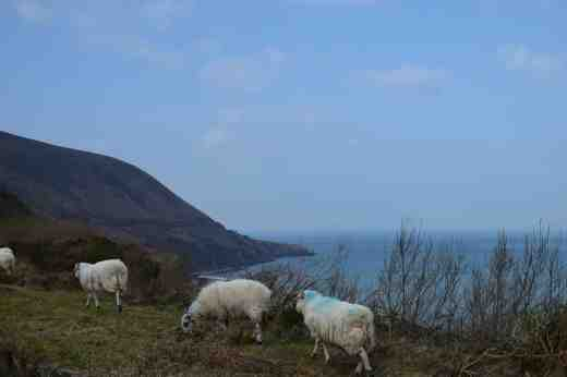 Sheep at King's Head