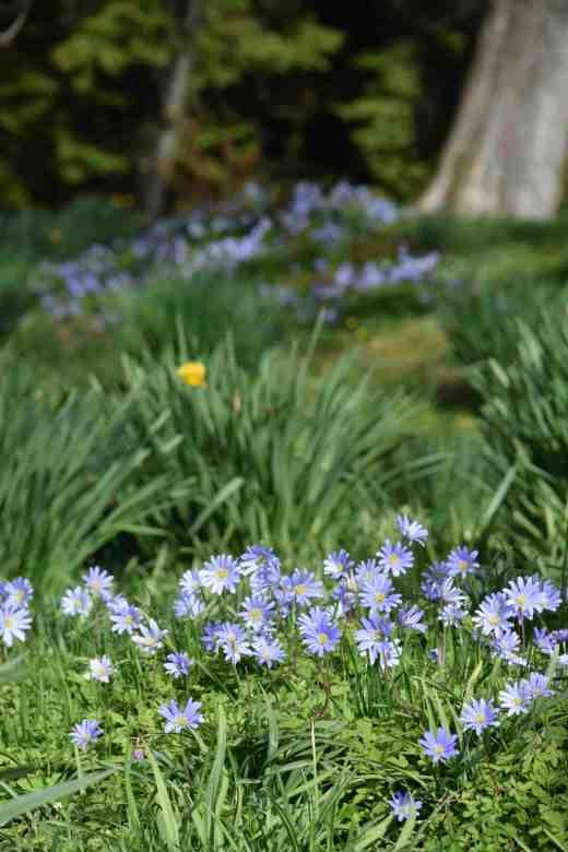 anemone blanda kil