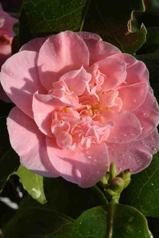 camellia ardoch