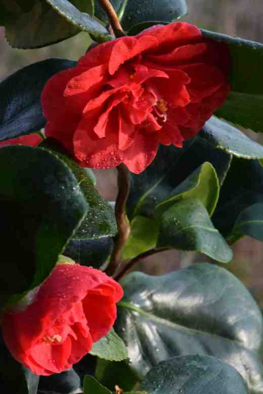 camellia curly lady