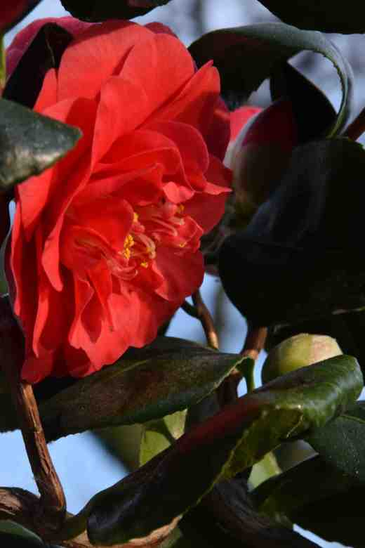 camellia curly lady2