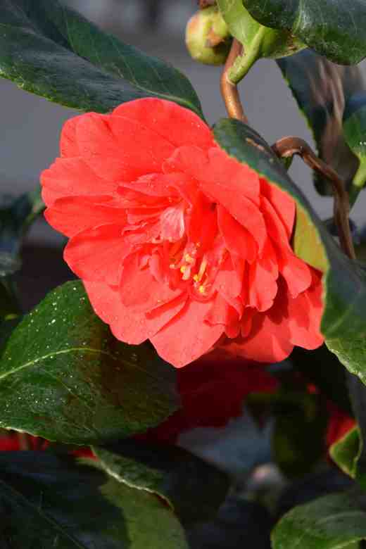 camellia curly lady3