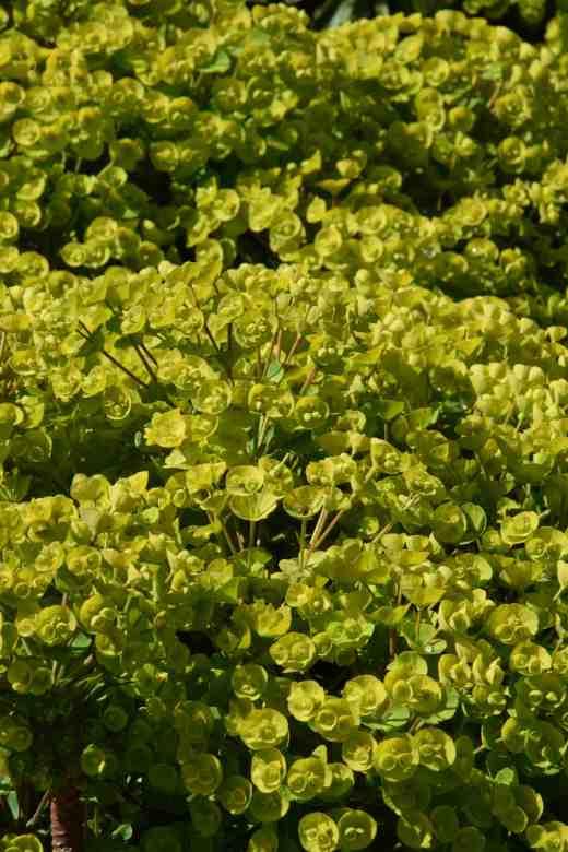 Euphorbia 'Blackbird'