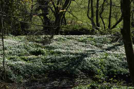 I was blown away by the biggest and densest stand of wood anemone (Anemone nemerosa) I have ever seen.