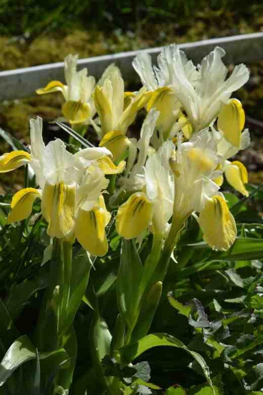 iris bucharica 2
