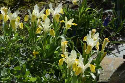 iris bucharica 3