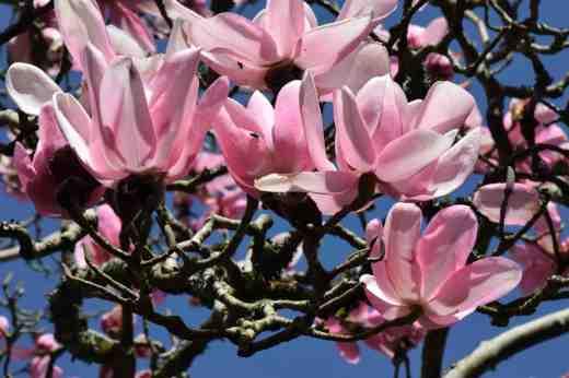 magnolia campbelli2