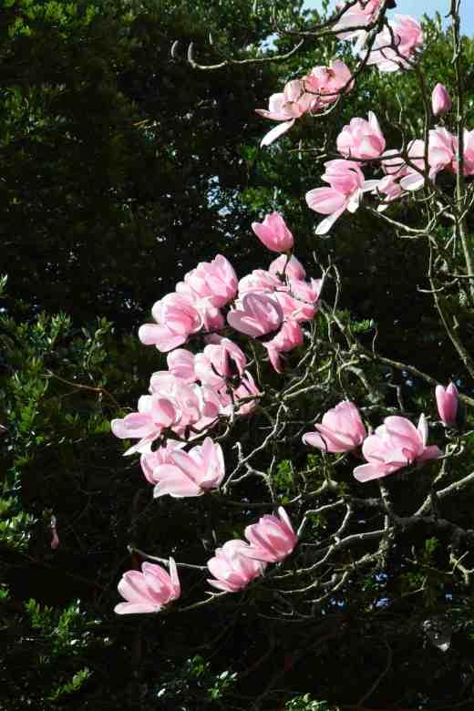 magnolia campbelli3