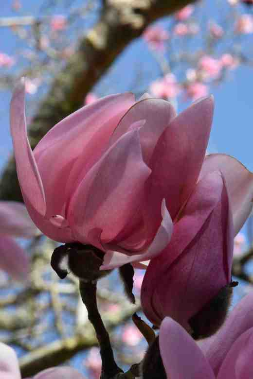 magnolia campbelli4