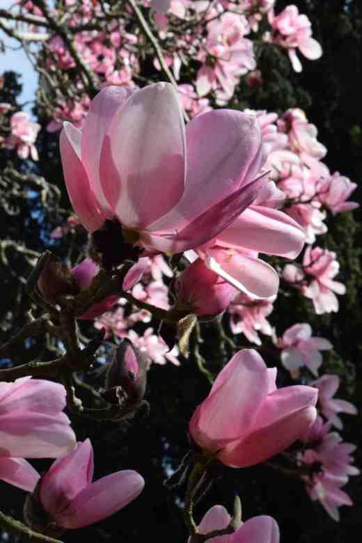 magnolia campbelli5