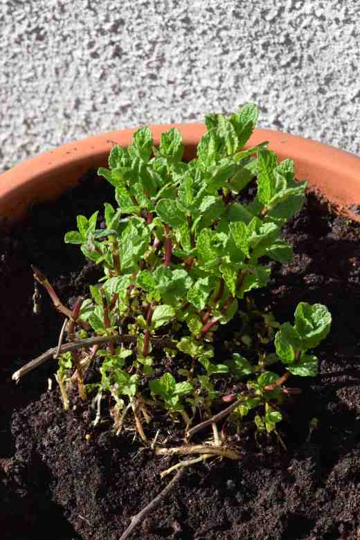 mint potted
