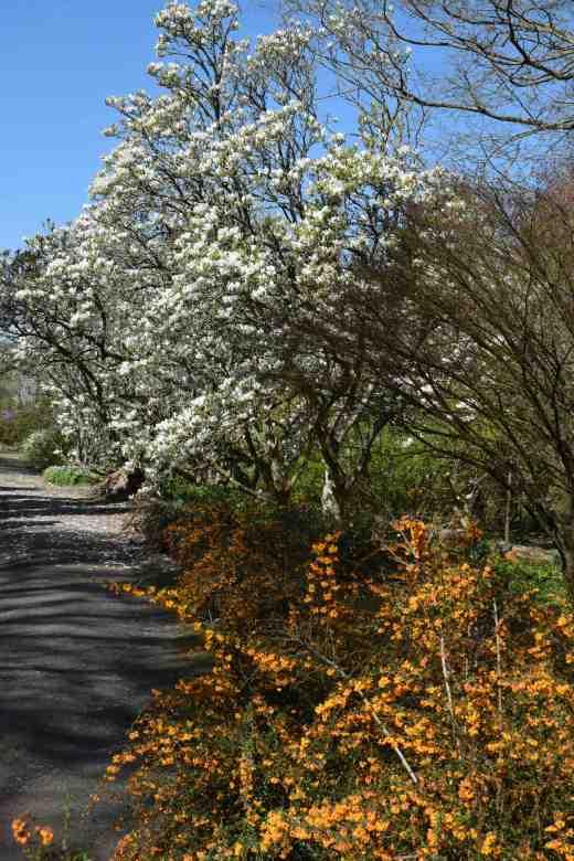 Magnolias and Berberis